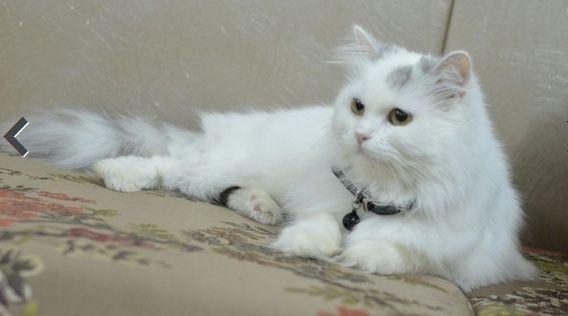 اجمل قطه مون فيس بيضاء للبيع Captur10