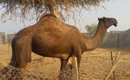 للبيع ناقه مجهم في مكة Captur11