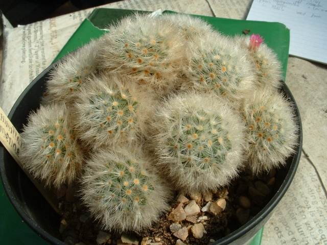 Mammillaria carmenae Lau_1311