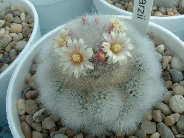 Mammillaria schwarzii Sch10