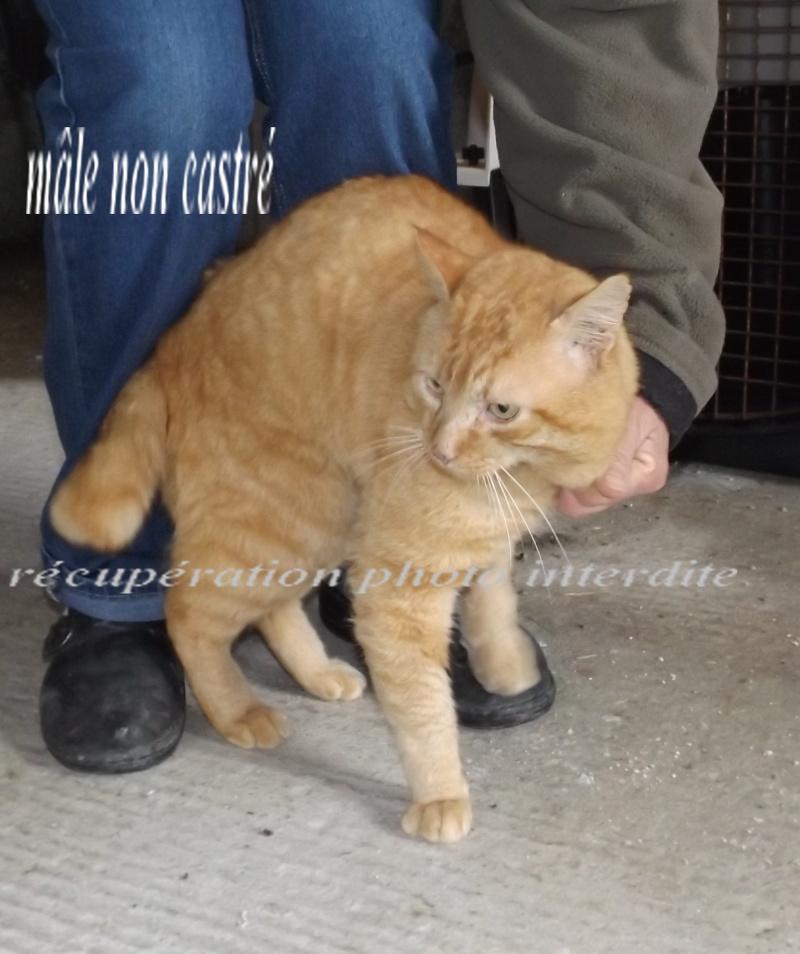 Chat mâle adulte roux tigré - Fourrière Sud 44 - Délai légal dépassé - 1f10