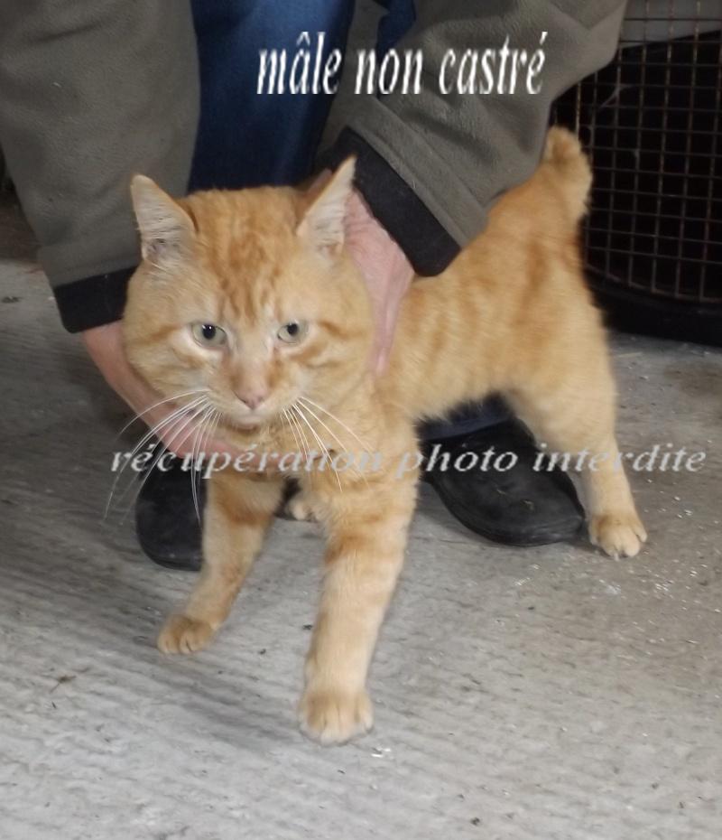 Chat mâle adulte roux tigré - Fourrière Sud 44 - Délai légal dépassé - 2f10