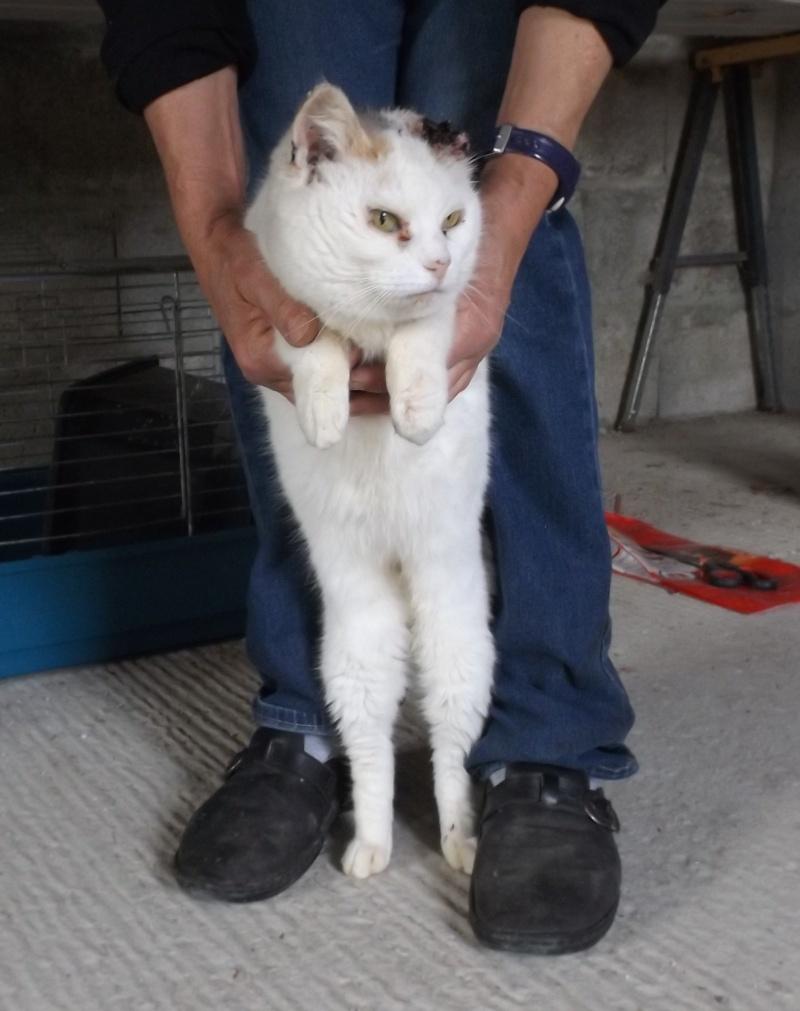 chatte blanche et tricolore état pitoyable - Fourrière Sud 44 - Délai 28 avril 2016 411