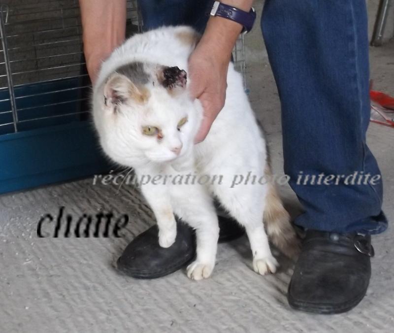 chatte blanche et tricolore état pitoyable - Fourrière Sud 44 - Délai 28 avril 2016 5f10