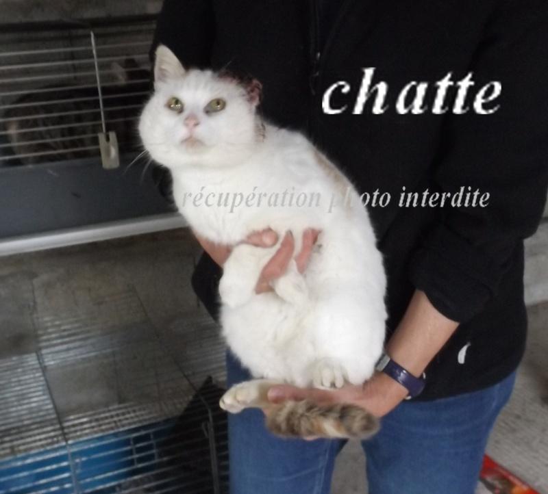 chatte blanche et tricolore état pitoyable - Fourrière Sud 44 - Délai 28 avril 2016 6f10