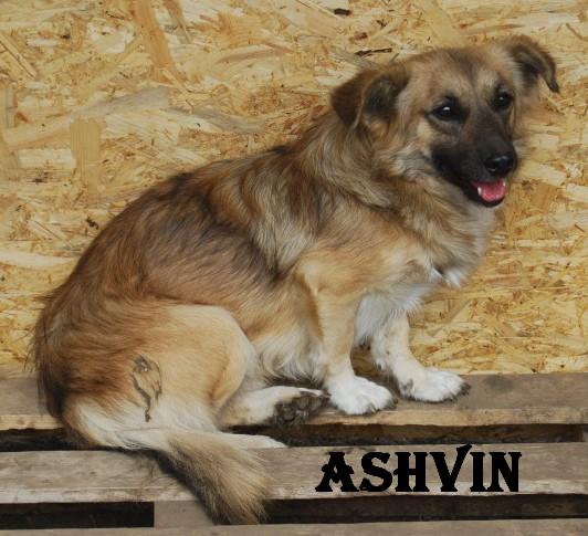 ashvin - ASHVIN X BERGER NE EN 2007 - En FA en Belgique - parrainé par Audrey38 - TINA- LBC - SOS Ashvin13