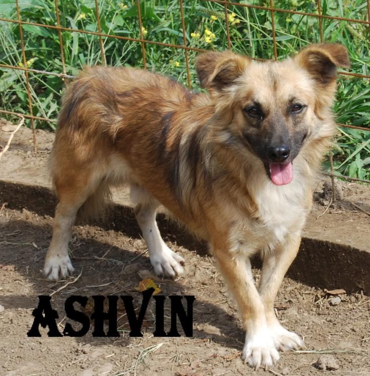 ashvin - ASHVIN X BERGER NE EN 2007 - En FA en Belgique - parrainé par Audrey38 - TINA- LBC - SOS Ashvin16