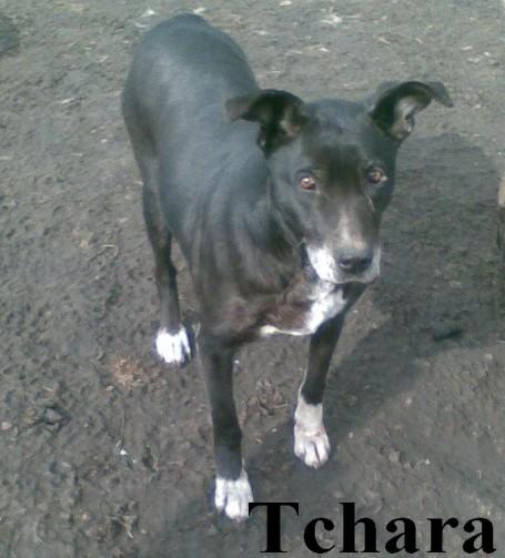 tchara - TCHARA FEMELLE PARRAINEE PAR BOUDCHOU(Tina) Tchara12
