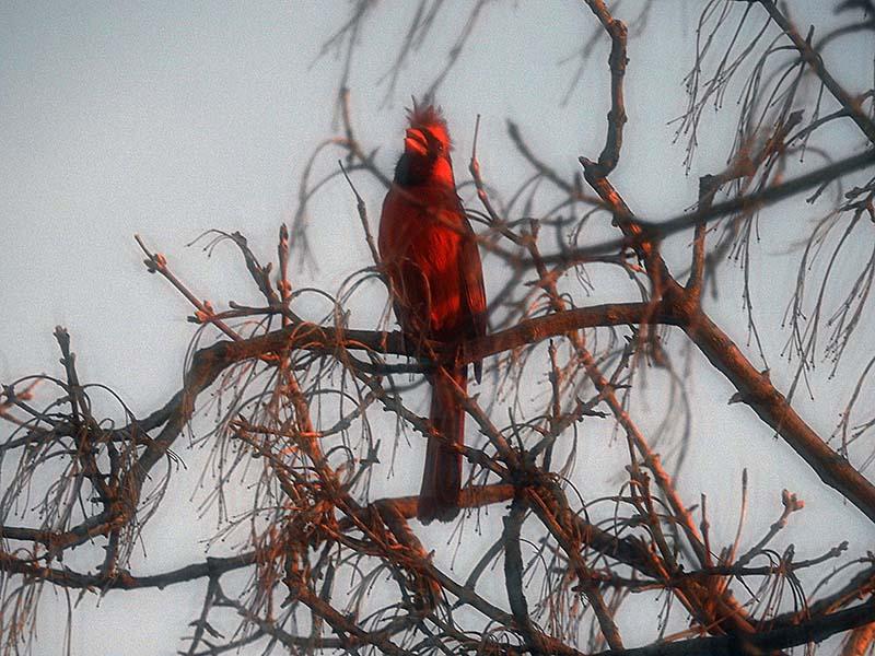 Cardinal 00112