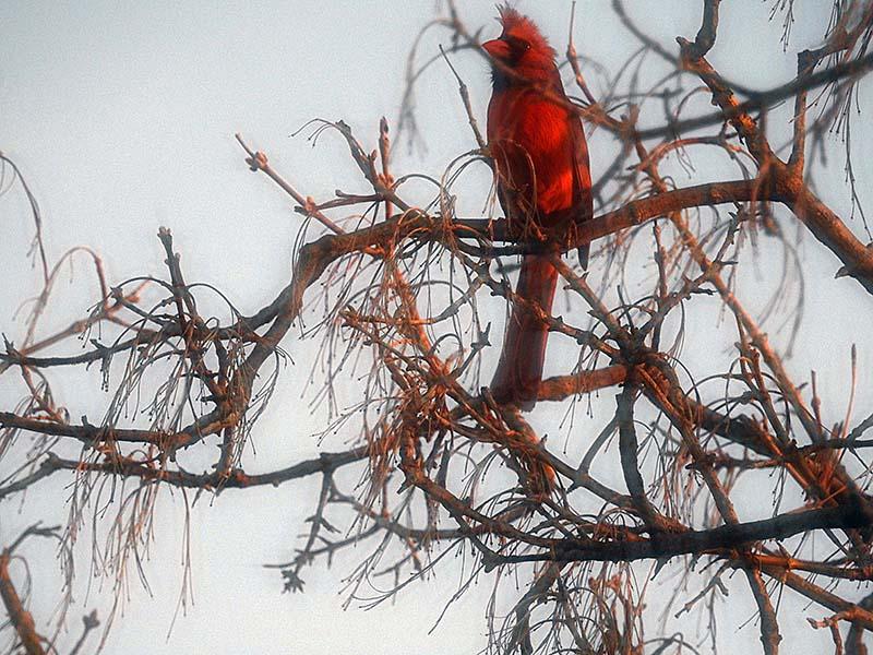 Cardinal 00211