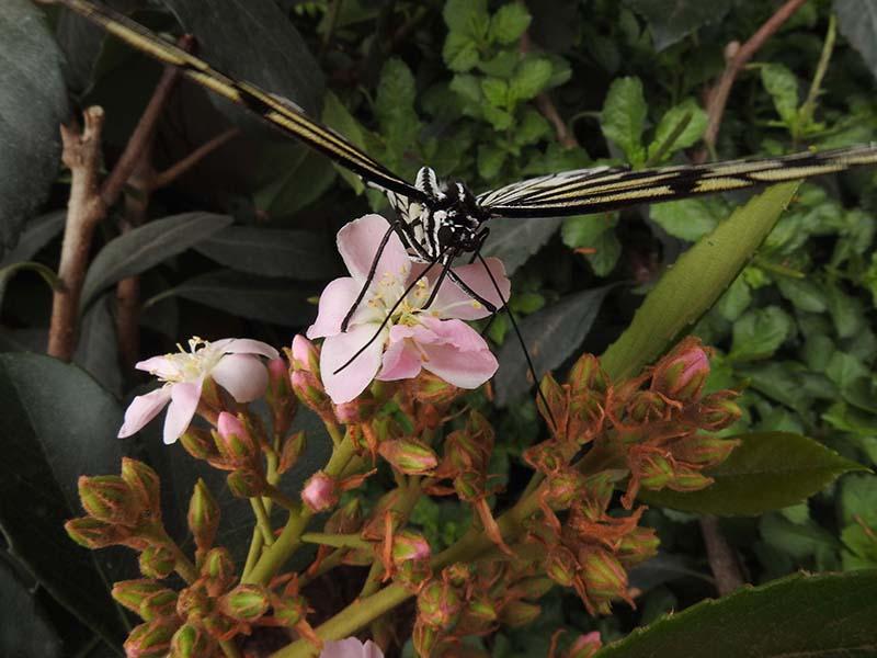 Petite visite chez les papillons en liberté... 00510