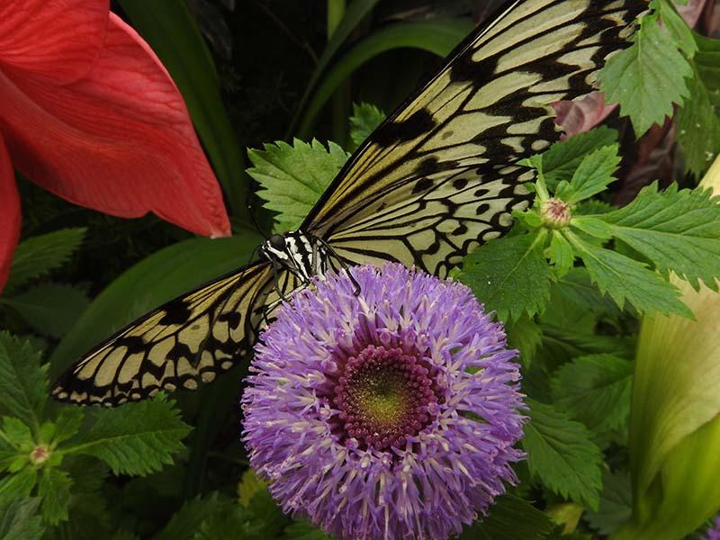 Petite visite chez les papillons en liberté... 00610