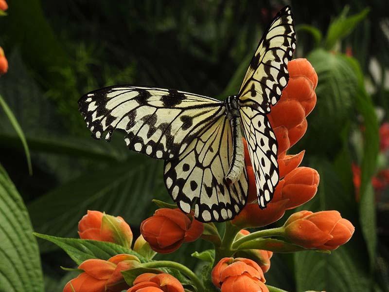 Petite visite chez les papillons en liberté... 00710