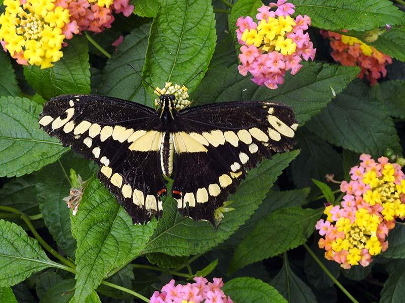 Petite visite chez les papillons en liberté... 00810