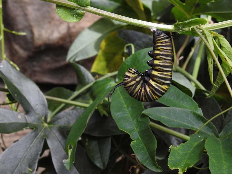 Petite visite chez les papillons en liberté... 01110