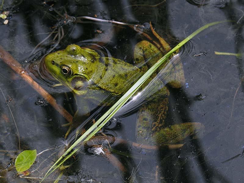 Une jolie grenouille au J.Botanique Gren_011