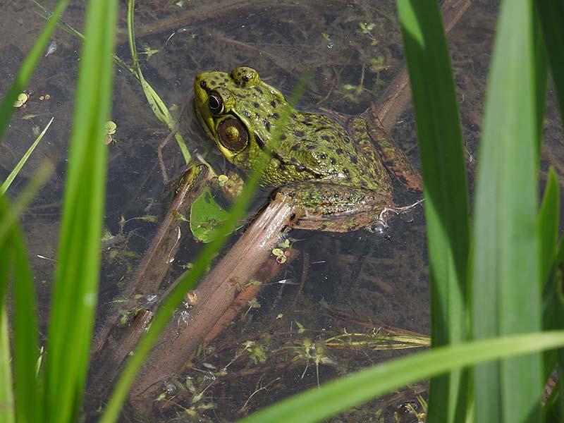 Une jolie grenouille au J.Botanique Gren_012