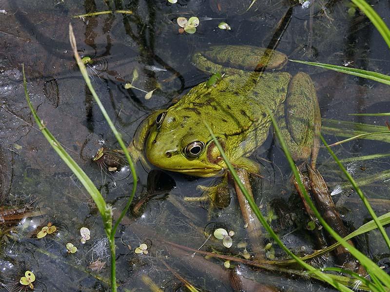 Une jolie grenouille au J.Botanique Gren_013