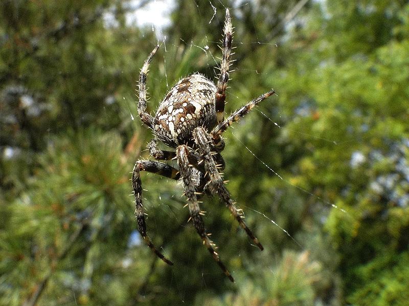 Les insectes, oeuvresd'art en liberté.... Spider10