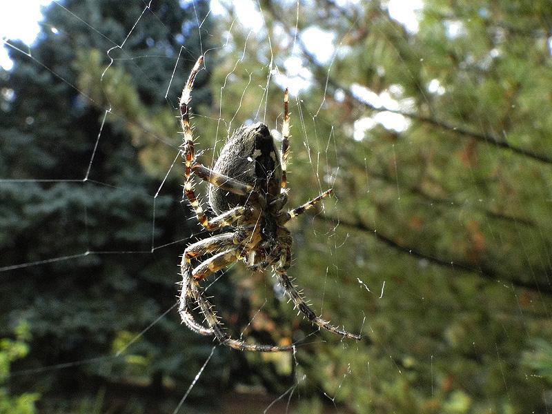 Les insectes, oeuvresd'art en liberté.... Spider11