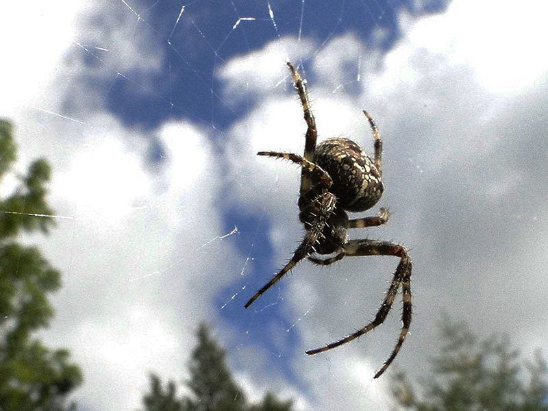 Les insectes, oeuvresd'art en liberté.... Spider12