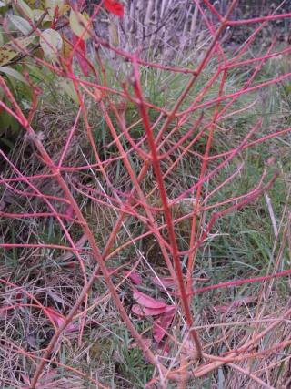 encore un inconnu : arbuste  Dscn1220