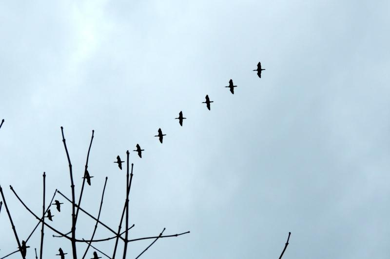 cormoran à aigrettes? Dscn7411