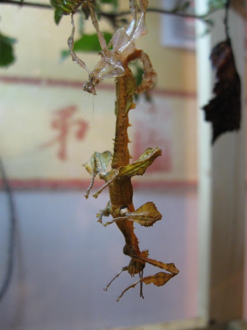Extatosoma tiaratum P.S.G n°9 Img_0013