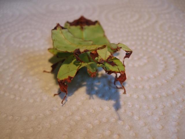 Phyllium giganteum (P.S.G n°72) Photo_42