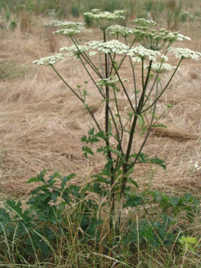 [Plantes Sauvages] La grande berce Img_1510