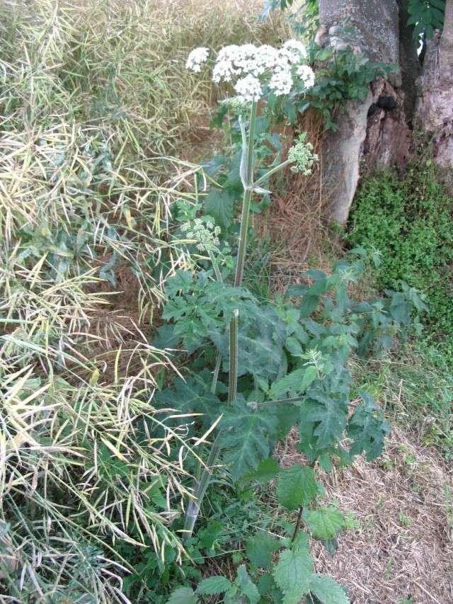 berce - heracleum sphondylium - La_ber10