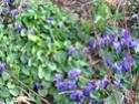 des violettes Img_2513