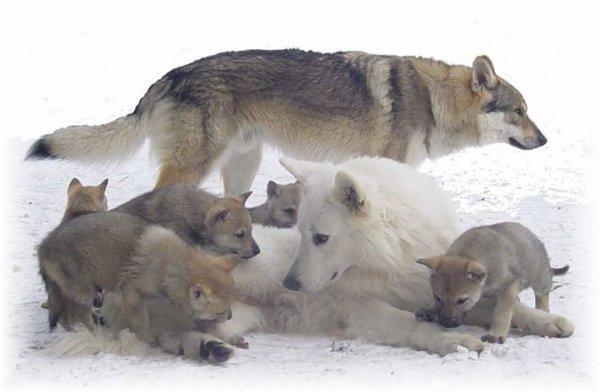 Les Loups - Page 3 29812010