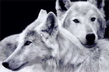 Les Loups - Page 3 Fbcaci10