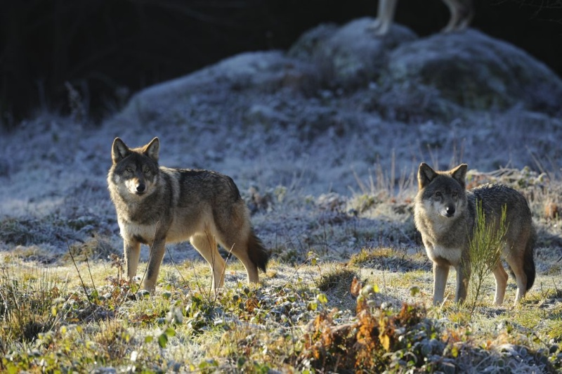 Les Loups - Page 3 Loups-10