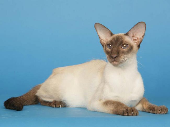 les chats Siamoi10