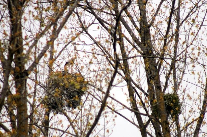Cigogne blanche (Ciconia ciconia)  Img_3212