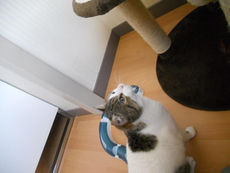 Milo tigré et blanc, adorable pot de colle à Niort Dscn4824