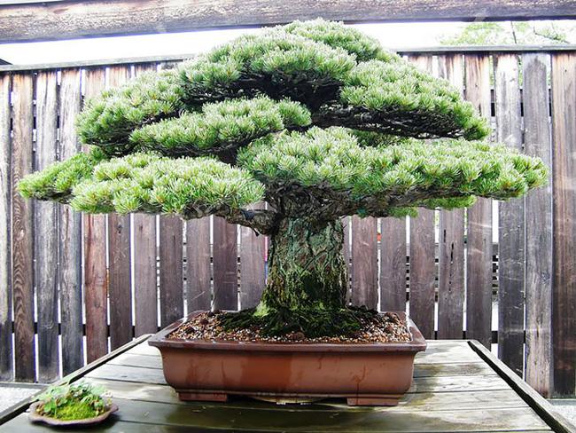 Bộ sưu tập những kiệt tác bonsai đẹp nhất thế giới Amazin11
