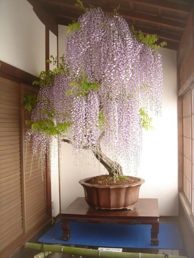 Bộ sưu tập những kiệt tác bonsai đẹp nhất thế giới Amazin12