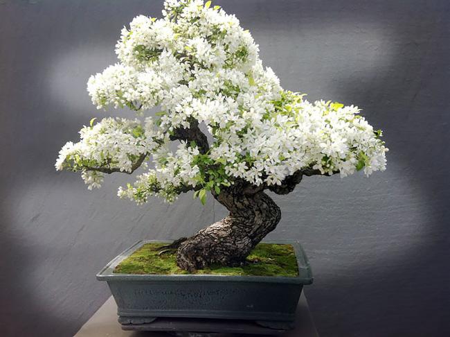 Bộ sưu tập những kiệt tác bonsai đẹp nhất thế giới Amazin14