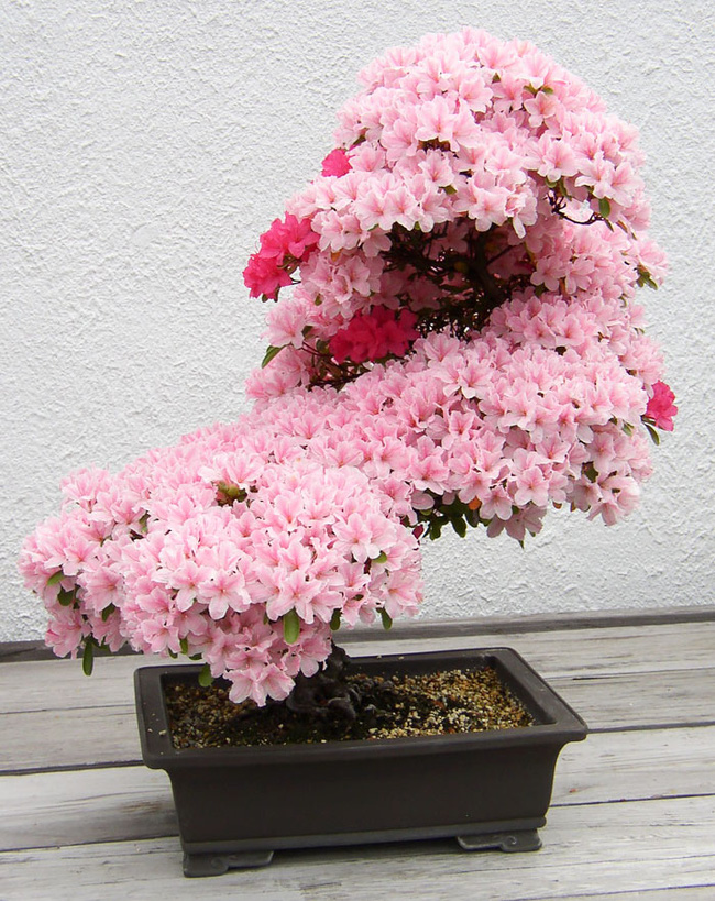 Bộ sưu tập những kiệt tác bonsai đẹp nhất thế giới Amazin16