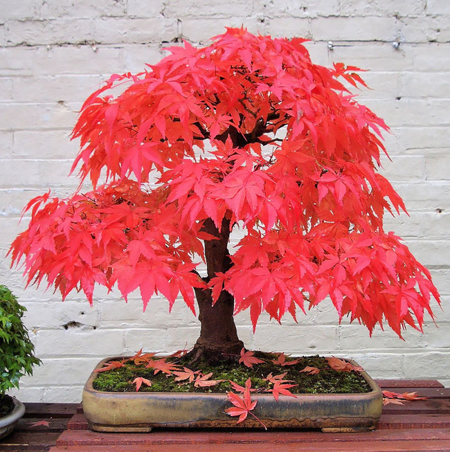 Bộ sưu tập những kiệt tác bonsai đẹp nhất thế giới Amazin18