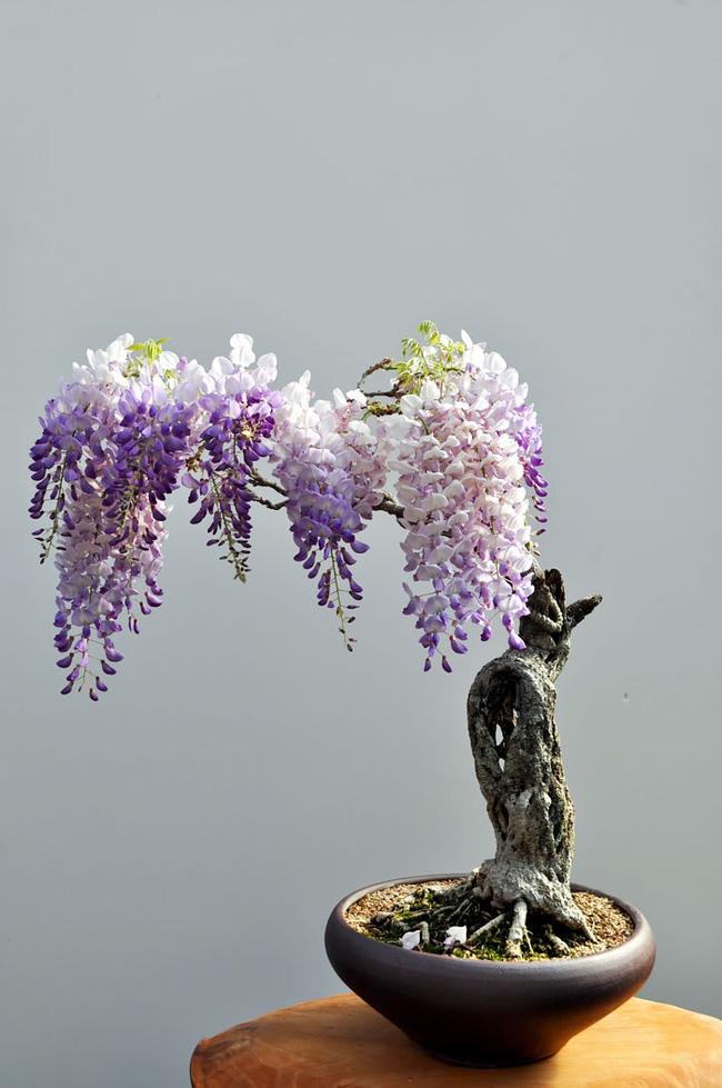 Bộ sưu tập những kiệt tác bonsai đẹp nhất thế giới Amazin19