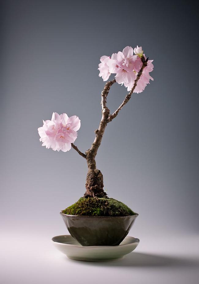 Bộ sưu tập những kiệt tác bonsai đẹp nhất thế giới Amazin21