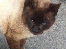 SOS pour une dizaine de chats dont siams (59) 13315310