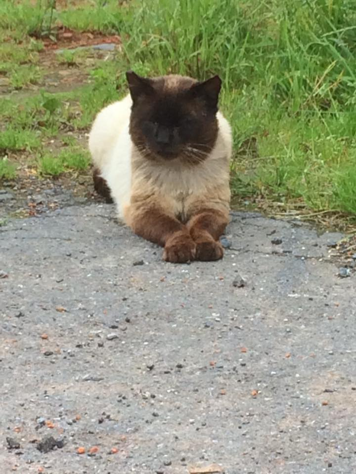 SOS pour une dizaine de chats dont siams (59) 13315610