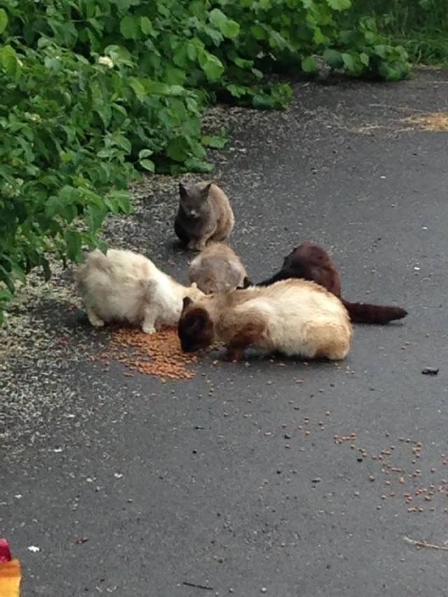 SOS pour une dizaine de chats dont siams (59) 13321911