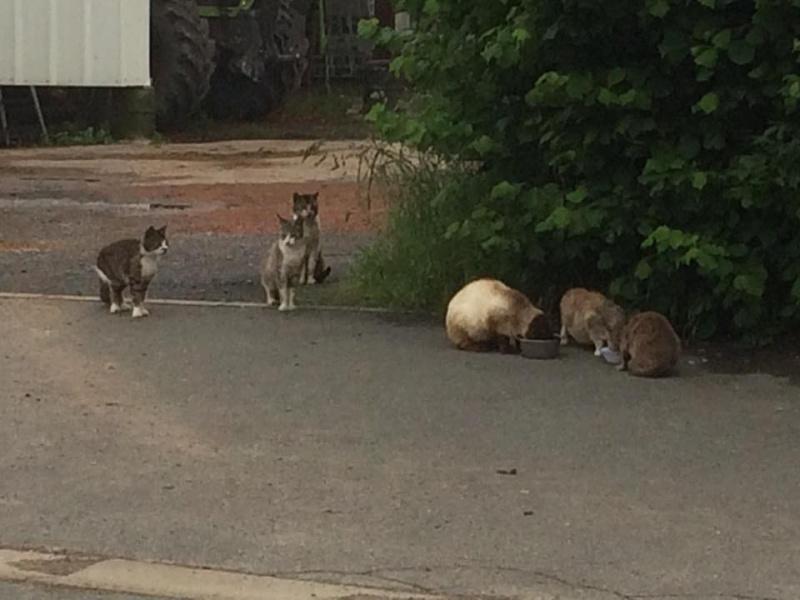SOS pour une dizaine de chats dont siams (59) 13344510