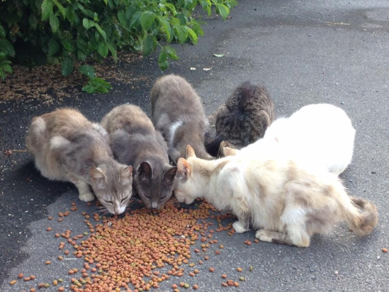 SOS pour une dizaine de chats dont siams (59) 13394010